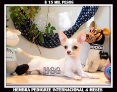 Galería de Cachorros HGG: Cachorros en Venta