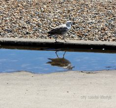 Seagull strolling in the summer sun after a rain shower.
