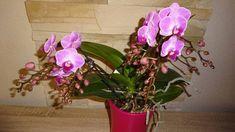 Pani Darinka má krásne orchidey: Aké sú jej pestovateľské tipy? - Pluska.sk Plants, Flora, Home And Garden, House Plants, Orchids, Garden