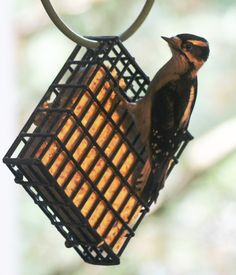 Downy woodpecker on the suet cage.