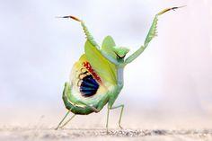 winged praying mantis, safari.photogirl
