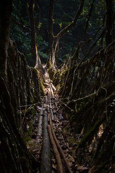living root bridge | megalaya, india.