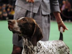 This German short-haired pointer poses perfectly for the camera.  He is in the show ring-love these dogs