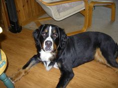 Bernese Juno SHAVED! Picts, Dogs, Animals, Animales, Animaux, Pet Dogs, Doggies, Animal, Dog