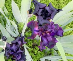 deep color Iris