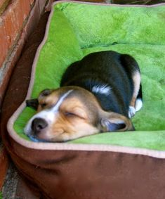 This reminds me of when my beagle Lady was a puppy!!! She was So Adorable! She's 11 yrs old now! <3