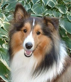 Rough Collie photo | Rough Collie Wallpapers, Pictures & Breed Information