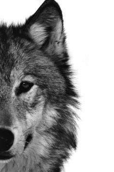 White Wolf: New Wolf Species Emerging in America Wolf Spirit, Spirit Animal, Wolf Pictures, Animal Pictures, Beautiful Creatures, Animals Beautiful, Animals And Pets, Cute Animals, Wild Animals