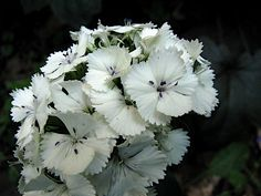 Sweet William-white Dianthus