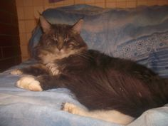 Maine coon Simon, blue tabby white