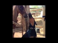They Call this Doberman the 'Horse Whisperer'! Watch and You'll See Why!