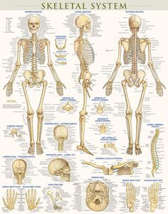 This new Skeletal System poster, based on our best-selling guides, covers the anatomy of the human skeletal system with beautiful, intricate, newly designed illustrations by accomplished anatomical artist Vincent Perez. Human Skeleton Anatomy, Human Body Anatomy, Human Anatomy And Physiology, Skeletal Muscle Anatomy, Muscular System Anatomy, Anatomy Study, Anatomy Reference, Pose Reference, Skeleton System