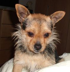chihuahua fox terrier mix puppies - Google Search