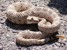 Wildlife of Baja California - the sidewinder aka the horned rattlesnake and sidewinder rattlesnake is a venomous pit viper species found in the desert regions of the southwestern United States and northwestern Mexico Serpent Venimeux, Rattlesnake Bites, Poisonous Snakes, Desert Animals, Wild Animals, Pit Viper, Snake Venom, Tier Fotos, Reptiles And Amphibians