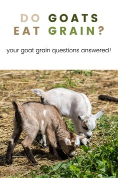 Do goats need grain? This is a question that is hotly debated among goat owners and goat farmers. Since goats seem to be able to find food on their own with no help from us, do they really need to be fed supplemental grain? If so, what do you need to know about feeding goats grain on a regular basis? Keeping Goats, Goat Care, Find Food, Homestead Farm, Self Reliance, Goat Farming, Backyard Farming, Hobby Farms, Question And Answer