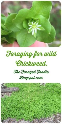 Identifying Wild Edible Chickweed Foraged Foodie: how to find, identify, and eat chickweed. A popular edible weed of early spring.Foraged Foodie: how to find, identify, and eat chickweed. A popular edible weed of early spring. Healing Herbs, Medicinal Plants, Herbal Plants, Edible Wild Plants, Wild Edibles, Growing Herbs, Edible Flowers, Trees To Plant, Organic Gardening