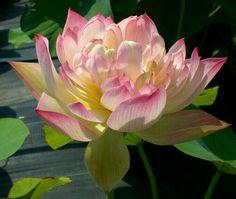 Lotus Wallpaper, Nelumbo Nucifera, Sacred Lotus, Photosynthesis, Water Lilies, Silk Painting, Lotus Flower, Lily, Nursery