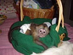 Cute Little Male and Female Capuchin for sale call or text us at (561) 465-4260 Adorable USDA registered male and female 3 months old Capuchin monkeys which are available for a new honest and loving family. This monkeys are so wonderful and will make a perfect companion please contact us back asap for more information . call or text us at (561) 465-4260