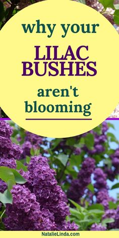 Has your lilac bush stopped blooming in the Springtime? There may be several reasons why! Find out what may be going on with your lilac bush and how you can encourage it to start producing blooms again.