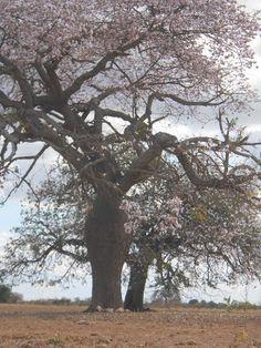 Visões da Caatinga: Fotos Árvore Barriguda