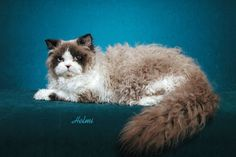 """Selkirk Rex cat photo © copyright Helmi Flick Origin This breed is one of three breeds of Rex cats. The word """"Rex"""" is a name that has through usage come to refer to the hair/fur of the Selkirk Rex, Curly Haired Cat, Rex Cat, Cats And Kittens, Kitty Cats, Ragdoll Cats, Warrior Cats, Domestic Cat, Cute Creatures"""