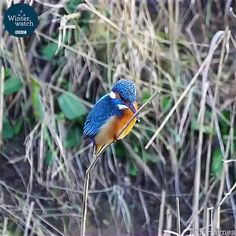 Kingfisher keeping its head stable