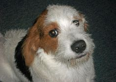Snoopy the Mixed Breed -- Dog Breed: Basset Hound / Terrier