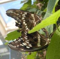 A pair of great egg flies, ahem, pairing, at the Peggy Notebaert Nature Museum Butterfly Haven.
