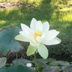 Big sunny lotus blossom on a Tuesday morning. #pondplants  Neptune's Water Gardens is the premier water feature design and installation company in the #Omaha Metro area. Our naturally balanced low-maintenance ecosystem ponds work with Mother Nature not against her. We pride ourselves in creating water features that appear to have always existed in their surrounding landscape. Whether you choose an ecosystem #pond decorative #fountainscape #Pondless #Waterfall or the new #RainXchange System…