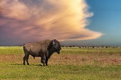 Things to do in South Dakota - American Bison in the Black Hills. Image by Mike Hill / Photographer's Choice / Getty Images. Native American Tribes, American Bison, Le Bison, Bryce Canyon Utah, Earth Photos, Valley Of Fire, Us Road Trip, Us National Parks, Yellowstone National Park
