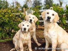Muddy fun at Nicholberry Farms! www.nicholberrygoldens.com English Golden Retrievers, Farms, Labrador, Angels, Puppies, Dogs, Fun, Haciendas, Fin Fun