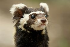 Marbled polecat (Vormela peregusna). Zoologischer Garten Magdeburg, Germany. Photo by zoofanatic.