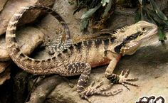 Australian Water Dragon HD Wallpaper