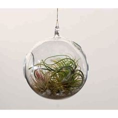 Hanging Terrarium with Tillandsia Planting Kit - Products - Dwell