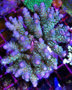 multicolor blue polyp tenuis