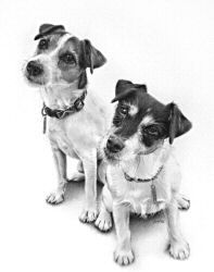 Oscar & Madison, Jack Russell Terrier