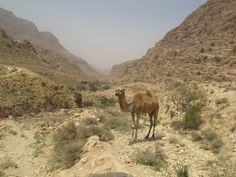 Auch in freier Wildbahn lachen sie mir entgegen die Kamele. Foto: Doris Safari, Animals, Photos, Camels, Laughing, Animais, Animales, Animaux, Animal
