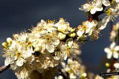 Cerezos en Flor en... el Valle del Jerte, Extremadura.