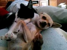 Cleo la gata,mamá adoptiva de Maggie,la chihuahua Amor en estado puro!!