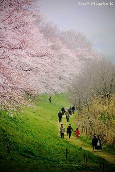Sakura Walk, Japan