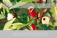 """http://www.venditapianteonline.it/shop/piante/hibiscus-sabdariffa-karkade/ La pianta di Hibiscus Sabdariffa è una perenne erbacea proveniente dall'Africa ed dall'Asia. Produce fiori di 8/10 cm di diametro di colore bianco e giallo con macchia rosso scuro alla base che essiccati, vengono impiegati nella preparazione dell'infuso: il Karkadè, dal tipico colore rosso vivo. Bevanda rinfrescante e dissetante, ricca di vitamine ed ottima come antiossidante. In Africa viene chiamata """"Tè del Sudan"""".."""