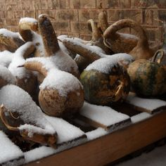 These gourds are outside in the snow drying. This is the best way to dry your gourds.