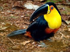 Channel-billed Toucan (Ramphastos v. ariel): It resembles the nominate, but the base of its bill is yellow, the skin around the pale blue eye is red and the entire throat and chest are orange. It occurs in the south-east Amazon. The unnamed population from the coastal regions of eastern Brazil is virtually identical.