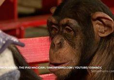 Normalerweise verblüfft 'iPad-Magier' Simon Pierro vor allem menschliche Zuschauer mit seinen Tablet-Zaubertricks. Ein neues Video zeigt Pierro jetzt mit einem ganz anderen Publikum – nämlich mit Schimpansen.