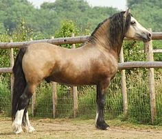 Buckskin Welsh Cob section D stallion, Taraco Fiasco.