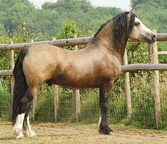 Buckskin Welsh Cob section D stallion, Taraco Fiasco.