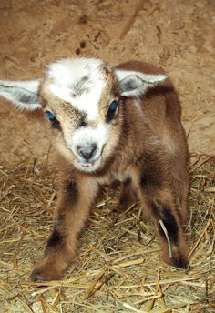 pygmy goats | Homestead ..... From Scratch: Nigerian Dwarf Goats