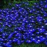 """200 Electric Blue & White HALF MOON LOBELIA Erinus Flower Seeds (1000000000062777870) BLOOM TIME:  Spring - Summer  . . .  COLOR:  Electric Blue with White Eyes HARDINESS ZONE:  Annual PLANT HEIGHT:  4 - 6"""" Trailing / Mounding  . . .  PLANT SPACING:  15 - 18"""" LIGHT REQUIREMENTS:  Sun - Part Shade  . . .  SOIL / WATER:  Average Lobelia is popular for containers or hanging baskets because of its trailing habit. It also makes an excellent ground cover. There are a wide variety of colors ..."""