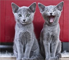 Russian Blue Kittens!