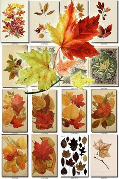 HERBARIUM-1 Collection of 60 vintage images of leaves leaf autumn herb bouquet flavor botanical High resolution digital download printable
